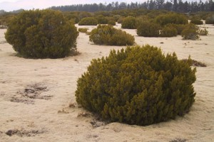 Strongly leached terraces and plains with bog pine (Halocarpus bidwillii) heathland at The Wilderness Scientific Reserve, Southland (Sarah Richardson)