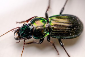Alexander beetle (Megadromus antarcticus)