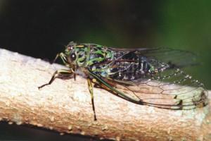 Chorus cicada [Amphipsalta zelandica]. Image: M.J. Esson