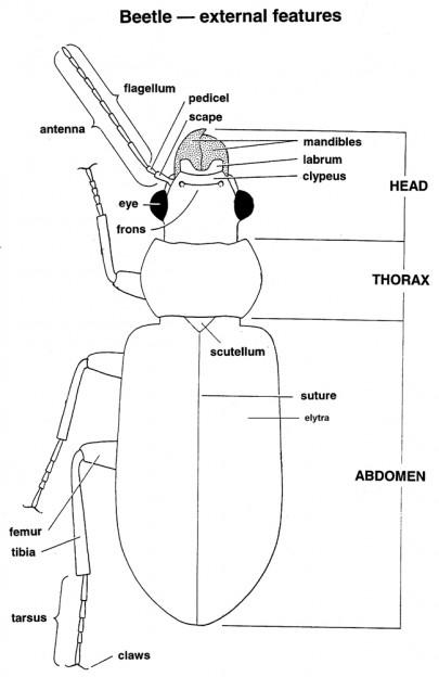 Diagram of a beetle