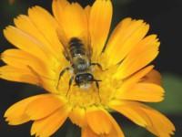 Native bee [Leioproctus fulvescens]