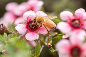 Honey bee on Martinii, a cultivar of mānukā [Leptospermum scoparium]