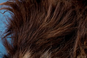 Close-up of hair (Brown dog skin D51.4895), Otago Museum Collection. Image: Kane Fleury © 2017 Otago Museum, Dunedin