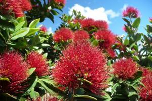[Metrosideros excelsa] NZ Myrtaceae Key