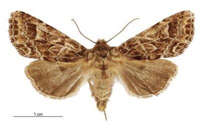 [Graphania brunneosa] (female). Noctuidae: Noctuinae. Image: Birgit E. Rhode