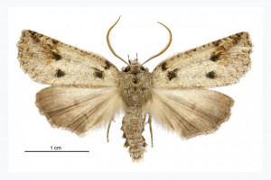 Larger moth thumb