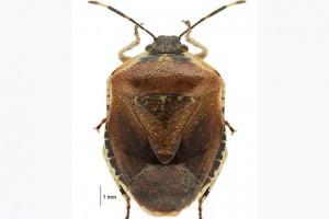 [Monteithiella humeralis] thumbnail