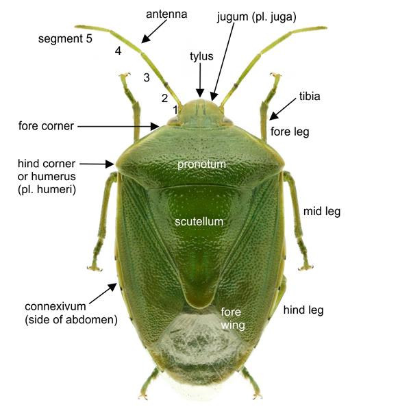 Pentatomidae, labelled dorsal view