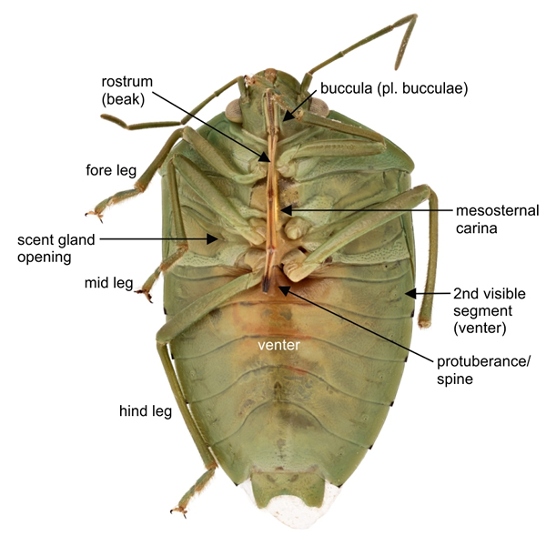 Pentatomidae, labelled ventral view