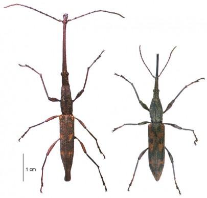 [Lasiorhynchus barbicornis] (Brentidae: Trachelizinae). Endemic