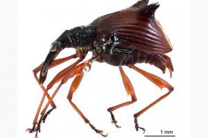 weevil taxa thumb