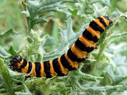 Caterpillar of the cinnabar moth, [Tyria jacobaeae] Image: Caricato da Jensbn CC-BY 3.0