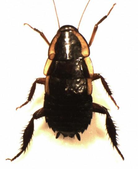 Gisborne cockroach / Te papata o Tūranga [Drymaplaneta semivitta]. Image: S.E. Thorpe / Public domain