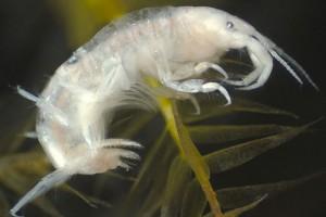 Amphipod (Corophiidae: Paracorophium)