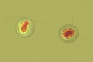 [Haematococcus], X400. Photo: Taranaki Regional Council & Manaaki Whenua