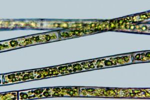 [Rhizoclonium], X640. Photo: Otago Regional Council & Manaaki Whenua