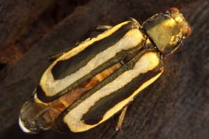 Adult Alligator weed flea beetle [Agasciles]. Image: Stephen Moore