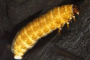 Larva of the Alligator weed flea beetle [Agasciles]. Image: Stephen Moore