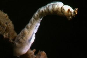 Sandfly ([Austrosimulium]) larva. Image: Stephen Moore