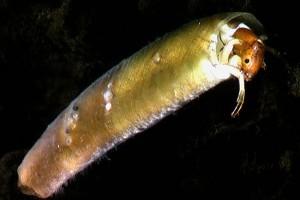 [Beraeoptera]. Image: Stephen Moore