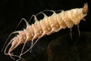 [Berosus] larva. Image: Stephen Moore