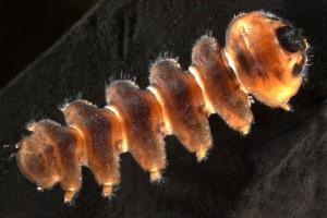 Blepharicerid larva. Image: Stephen Moore