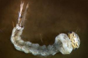 Mosquito (Culicidae) larva. Image: Stephen Moore