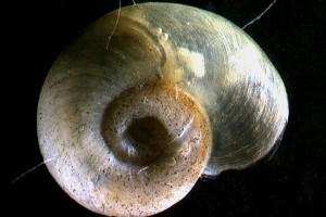 [Gyraulus corinna]. Image: Stephen Moore