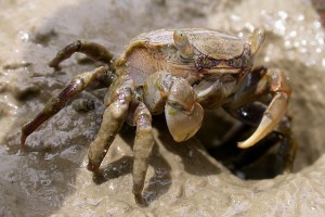 [Helice] crab (Whau River, Saunders Reserve). Image: Stephen Moore
