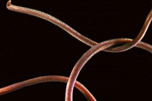 Horse hair worm. Image: Stephen Moore