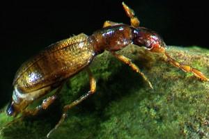 Moss beetle (Hydraenidae). Image: Stephen Moore