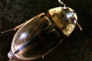 Water scavenger beetle (Hydrophilidae) adult. Image: Stephen Moore