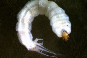 [Mischoderus] late instar larva with tail filaments. Image: Stephen Moore