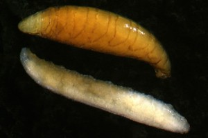 House fly (Muscidae) larva (pale) and yellow pupa. Image: Stephen Moore