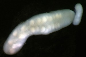 Proboscis worms (Nemertea). Image: Stephen Moore