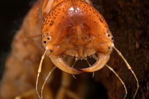 [Onychohydrus] larva. Image: Stephen Moore