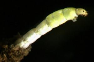 [Orthoclad]  midge emerging from silt tube. Image: Stephen Moore.