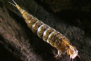 [Rhantus] larva. Image: Stephen Moore