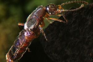 Rove beetles (Staphylinidae). Image: Stephen Moore