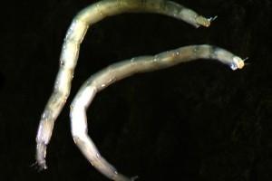 [Stictocladius] larvae. Image: Stephen Moore