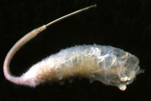 Rat tail maggot (Syrphidae) larva. Image: Stephen Moore
