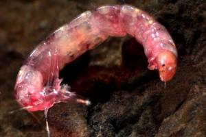 Tanypod larva. Image: Stephen Moore