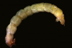 Tanytarsini larva. Image: Stephen Moore