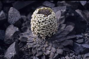 Notothlaspi rosulatum - Penwiper