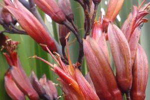 Arawa: flowers