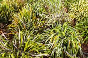 Te Kohinga Harakeke o Aotearoa. National New Zealand Flax Collection