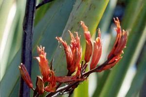 Makaweroa, Hiraka: flowers