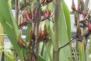 Ruawai: seed pods