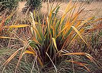 Yellow-leaf disease