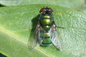 Hairy maggot blowfly [Chrysomyia rufifacies]. Image: Phil Bendle | CitScihub
